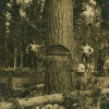 The first tree cut in Eatonville . . . well maybe