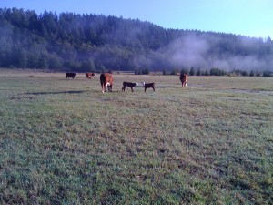 Cows and calves grazing in Ohop Valley