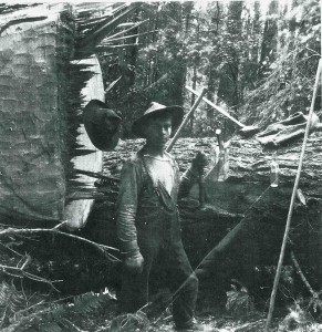 C. Boettcher bucking (enormous tree to his left)