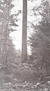 Feeling an enormous tree, ca. 1955