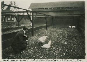 Eatonville High School chicken farm around 1914