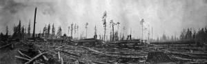 Griffith & Graeber logging trucks lined up in the woods